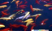 养殖锦鲤变色与日常水质处理(图)