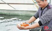 长沙农家小伙养锦鲤日售鱼苗7000多尾