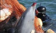 日本残忍猎杀海豚(多图)