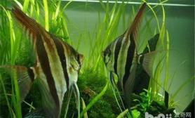 人工繁育埃及神仙鱼的建议