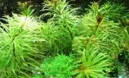 铁肥与水族箱爆藻的关系