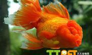 金鱼的饵料选择及投喂方法