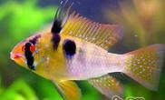 七彩凤凰鱼的饲养环境