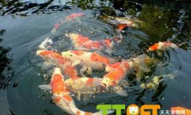 锦鲤鱼什么品种比较好