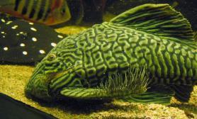 如何挑选大型化的鱼