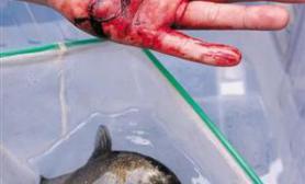 广西食人鱼一天咬伤两人(多图)
