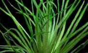 水草--中箦藻(图)
