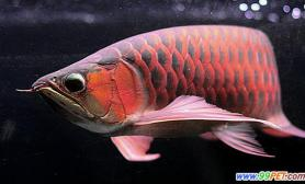 纯正金龙鱼能卖8万元一对三色花斑锦鲤能卖40万(图)