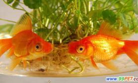 如何饲养金鱼更健康活泼(图)