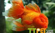 金鱼一般能活多大