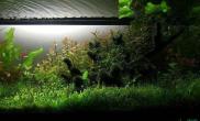 黑毛藻做景的缸