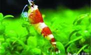 水晶虾的饲养温度