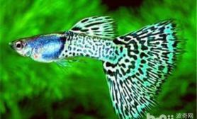 热带鱼冬季冻伤的症状