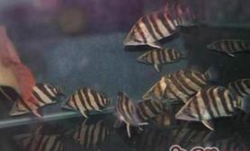 印尼虎鱼的饲养环境