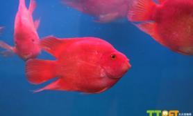 方法鹦鹉鱼怎么分公母