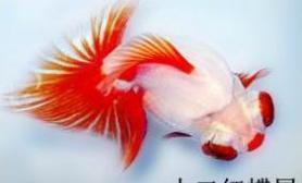 扬州金鱼身价暴涨一条5000(多图)