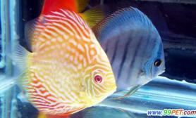 繁殖七彩神仙鱼的关键问题(图)