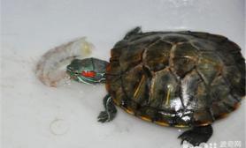 巴西龟每天吃多少东西比较合适