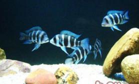 皇冠六间鱼的人工繁殖注意事项