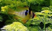 七彩凤凰鱼的繁殖方式(图)