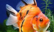 分析胆小鹦鹉鱼的饲养要点(图)