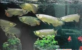 怎么样进行龙鱼的水族箱繁殖呢问答(图)