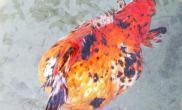 奇异金鱼腰围达到30多厘米(图)