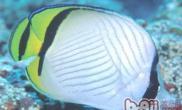 斜纹蝴蝶鱼的饲养环境