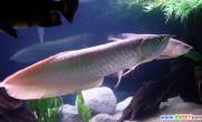 银龙鱼为啥养不活请有经验的养鱼者给他支支招(图)