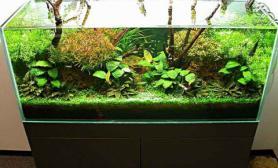 沉木咖啡椒草青龙石水草造景90CM尺寸设计