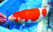 农博会锦鲤大赛1.2万元买走一条鱼(图)