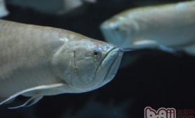 热带鱼银龙鱼的养殖六要点
