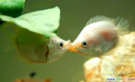 【接吻鱼混养】接吻鱼混养+4法辨接吻鱼公母(图)