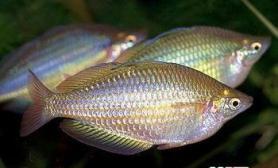 观赏鱼健康与带病的区分(图)