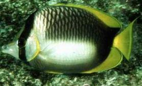 索马里蝶鱼的品种介绍