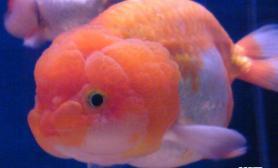 兰寿金鱼的生长特点(图)
