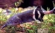 象鼻鱼的外形特点