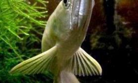 喜爱龙鱼的朋友请看(图)