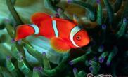 透红小丑鱼的品种简介