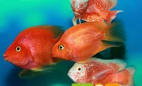 地图鱼雌雄区分的正确方法