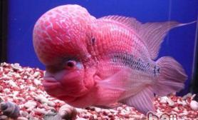 罗汉鱼的饲养要注意温度事项