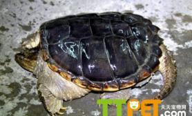 鳄鱼龟卵孵化期间的注意问题