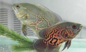 地图鱼的疾病预防与治疗(图)