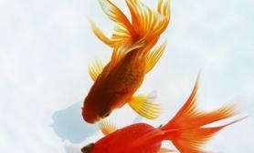 金鱼会产卵吗金鱼产卵怎么办