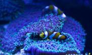 家庭饲养小丑鱼常见病细菌病的防治技术