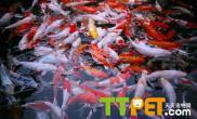 锦鲤饲养中关于溶氧量的控制