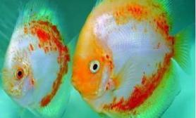 七彩神仙鱼的物种信息介绍(图)