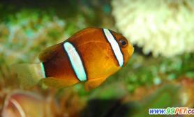 二氧化碳令海水变酸小丑鱼或将永远消失(图)