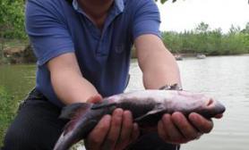 成群淮王鱼聚集最大重达1.25公斤(图)