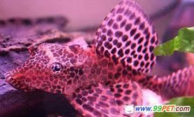奇怪新鱼眼睛长在额头上(图)